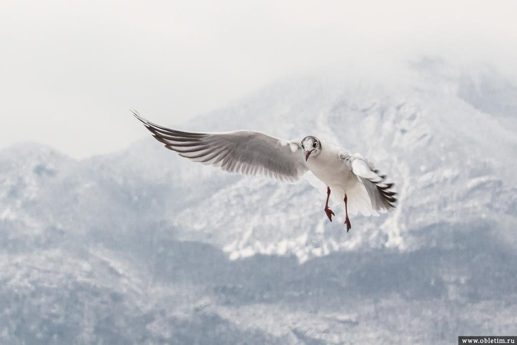 Фото чайки в полете