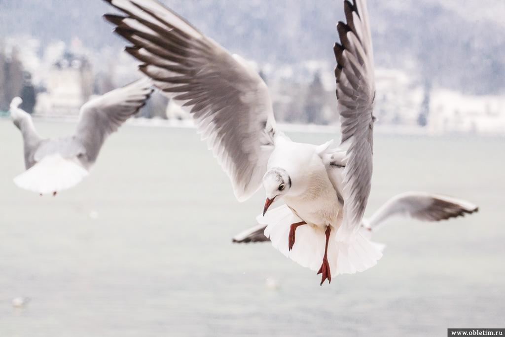Парящая чайка