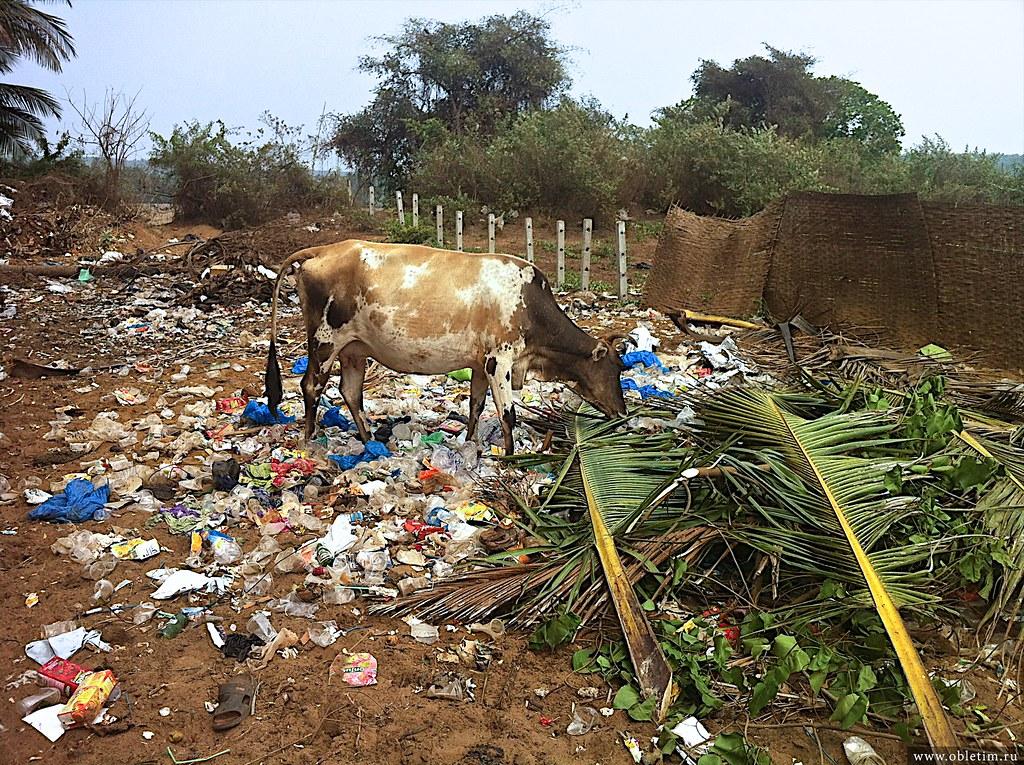 Корова в мусоре